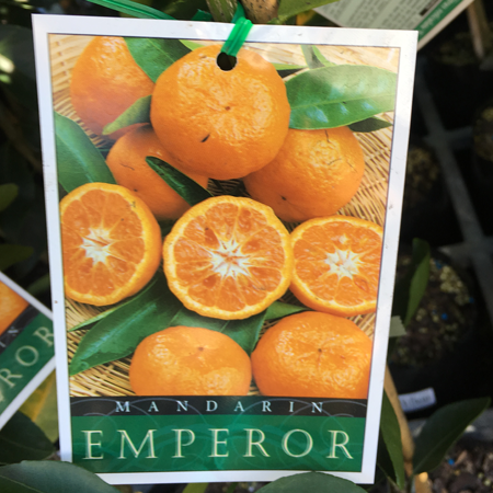 Citrus variety manawee