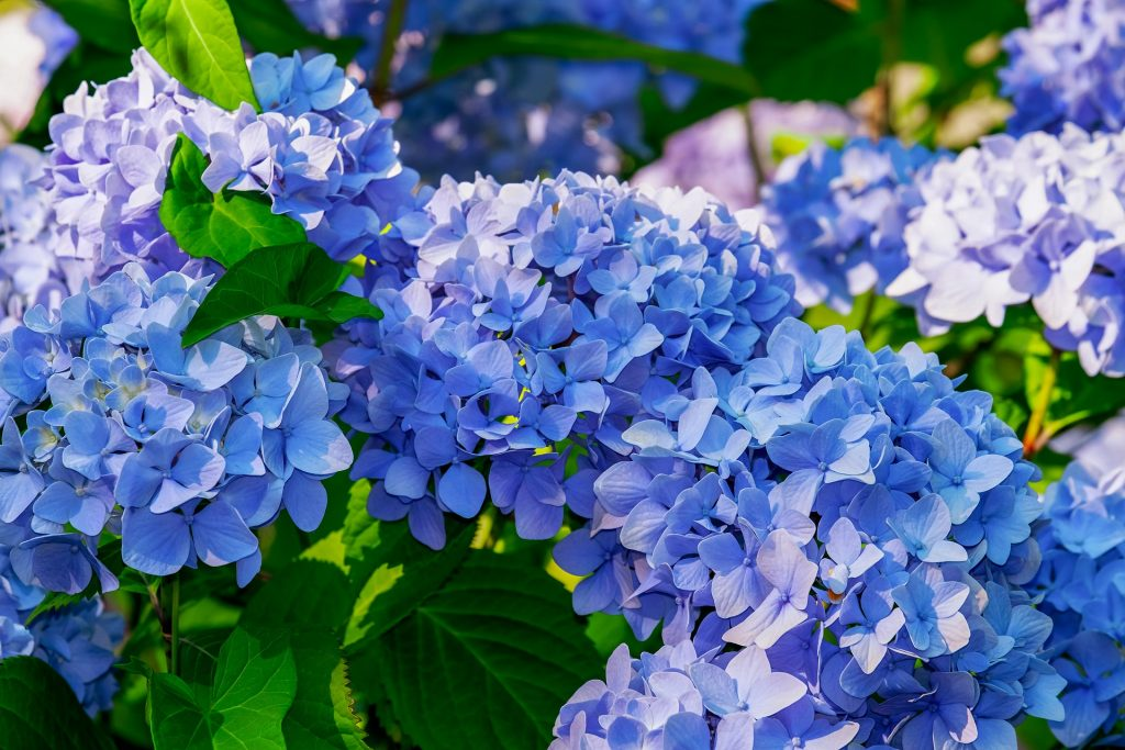Hydrangea blue Manawee