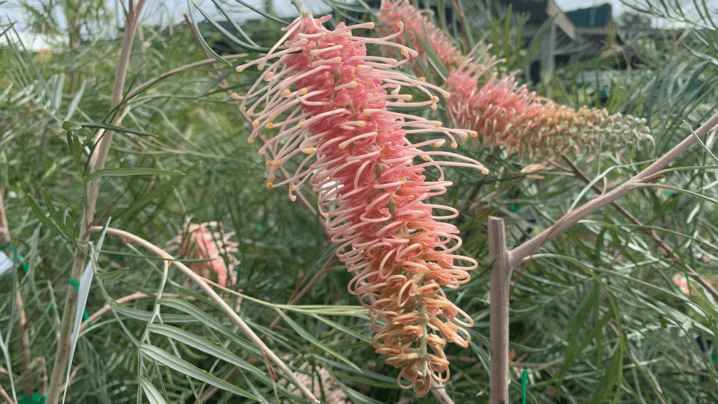 grevillea native plant