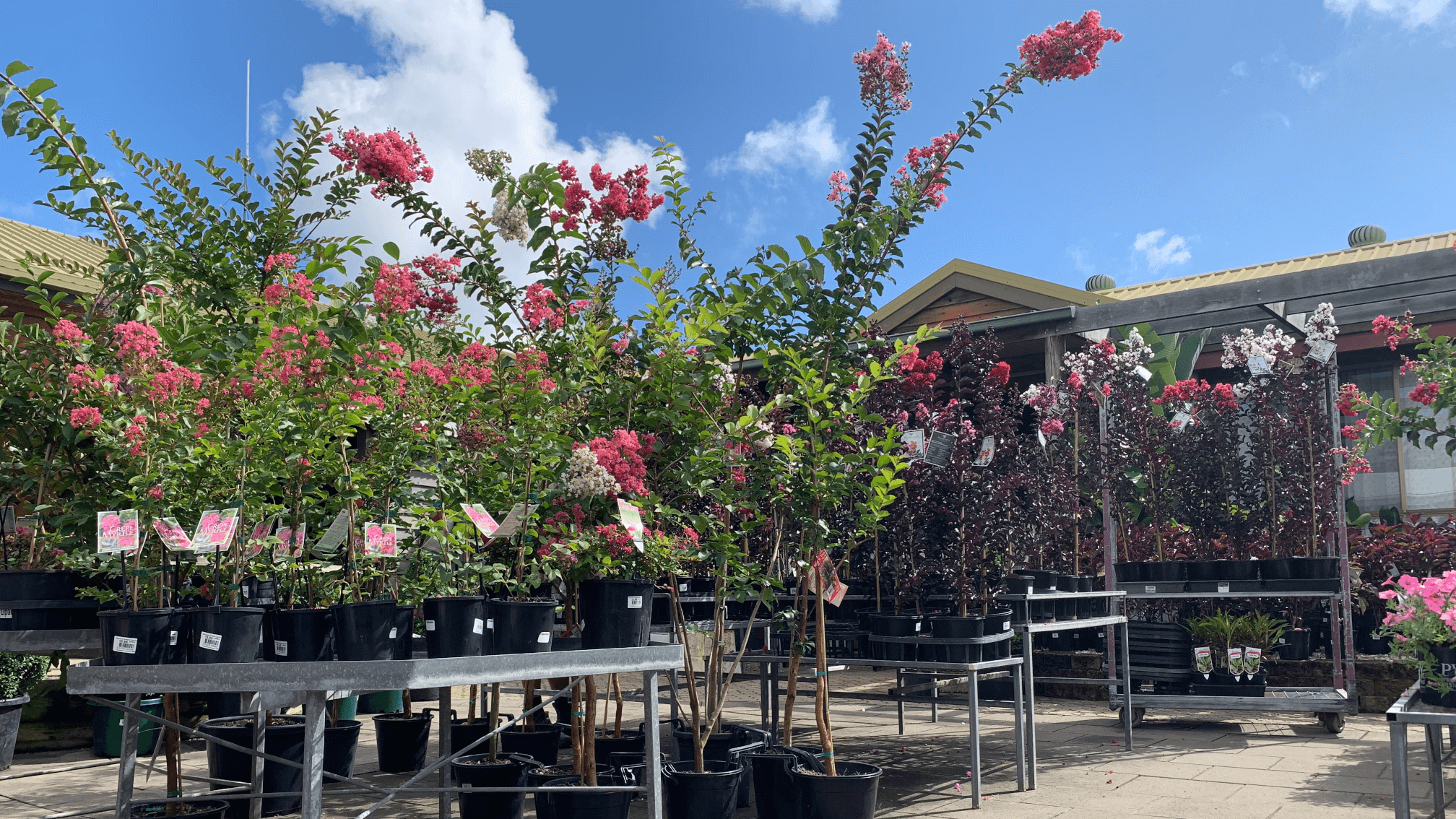 manawee garden centre crepe myrtle in full bloom