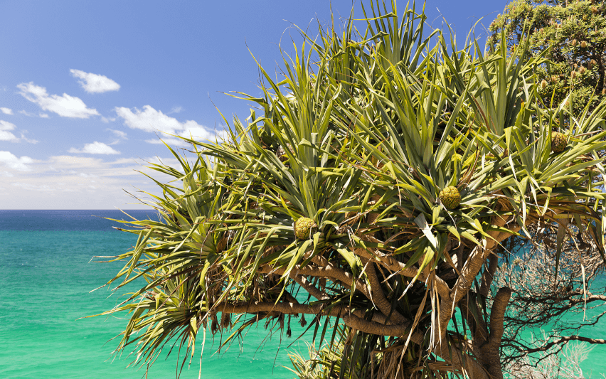 Pandanus tree native