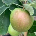 Low Chill Fruit Trees