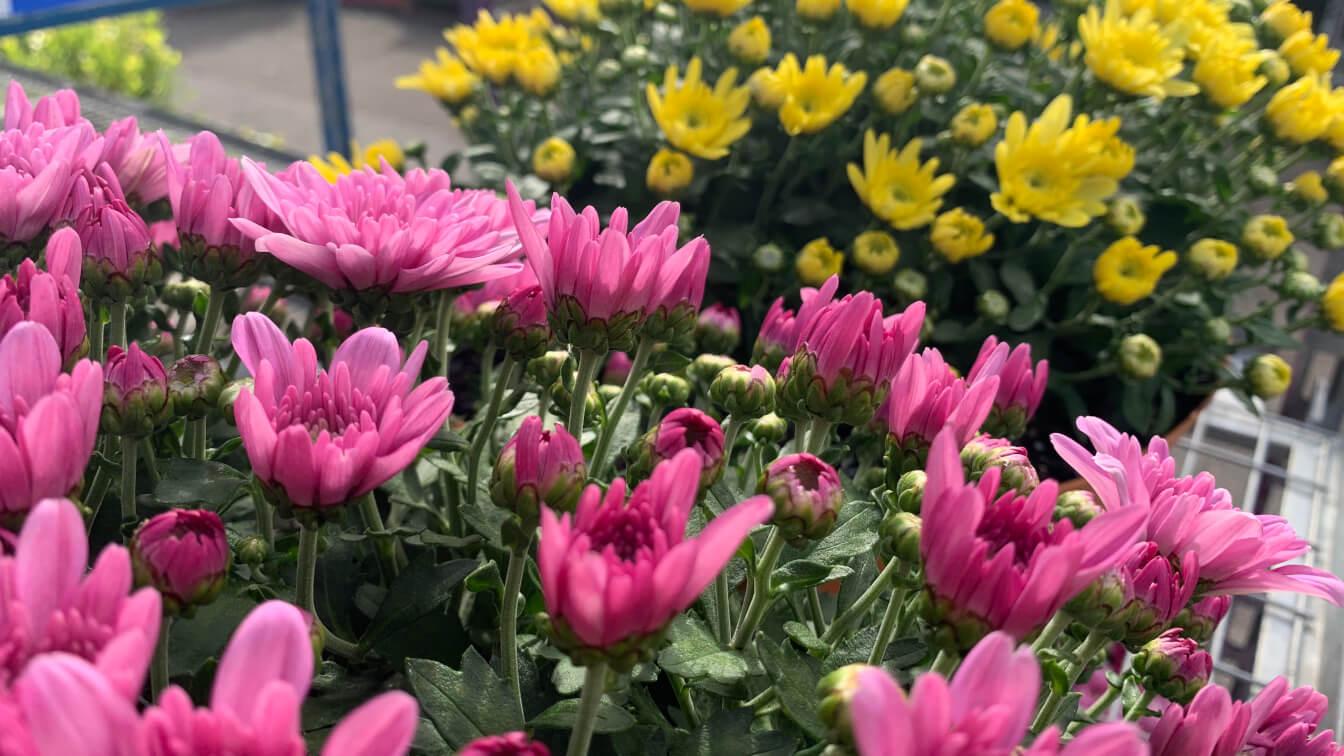 Manawee chrysanthemum
