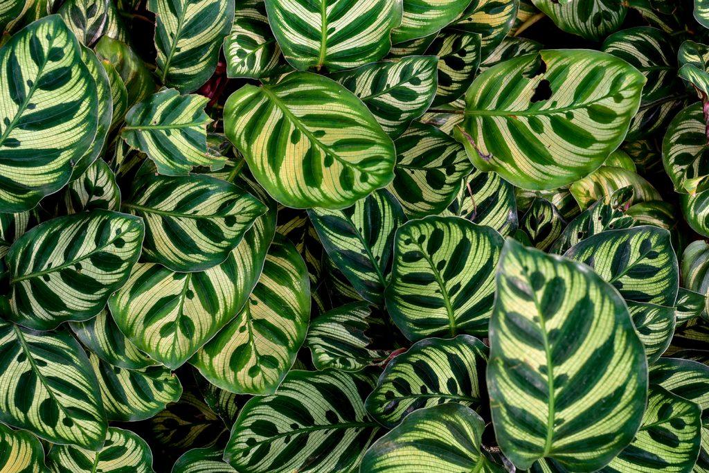 calathea indoor plant low light manawee