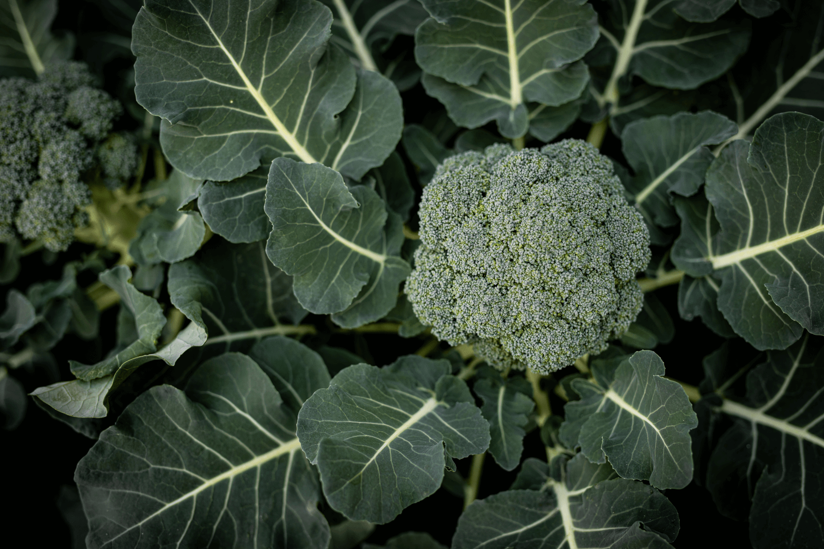 broccoli winter vegetable crop
