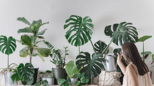 indoor plants manawee